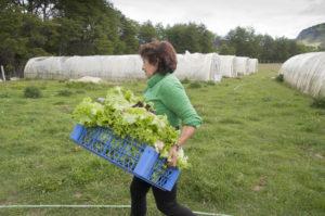 Lettuces destined for the supermarket DSC_0048